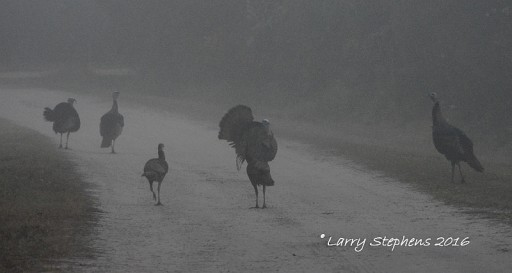 Strutting in the Fog 2-2-16 2c sm