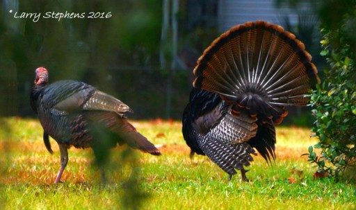 Wild Turkeys by Larry Stephens 1-31-16 3c