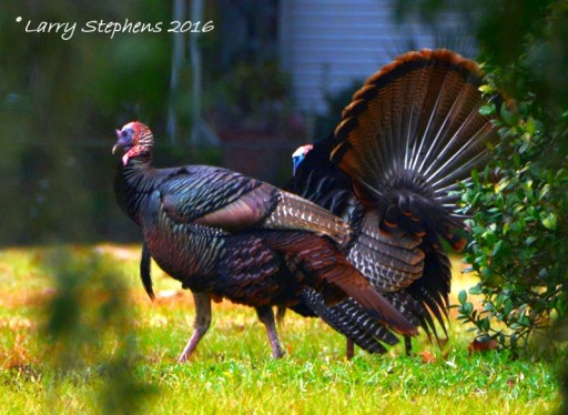 Wild Turkeys by Larry Stephens 1-31-16 6c