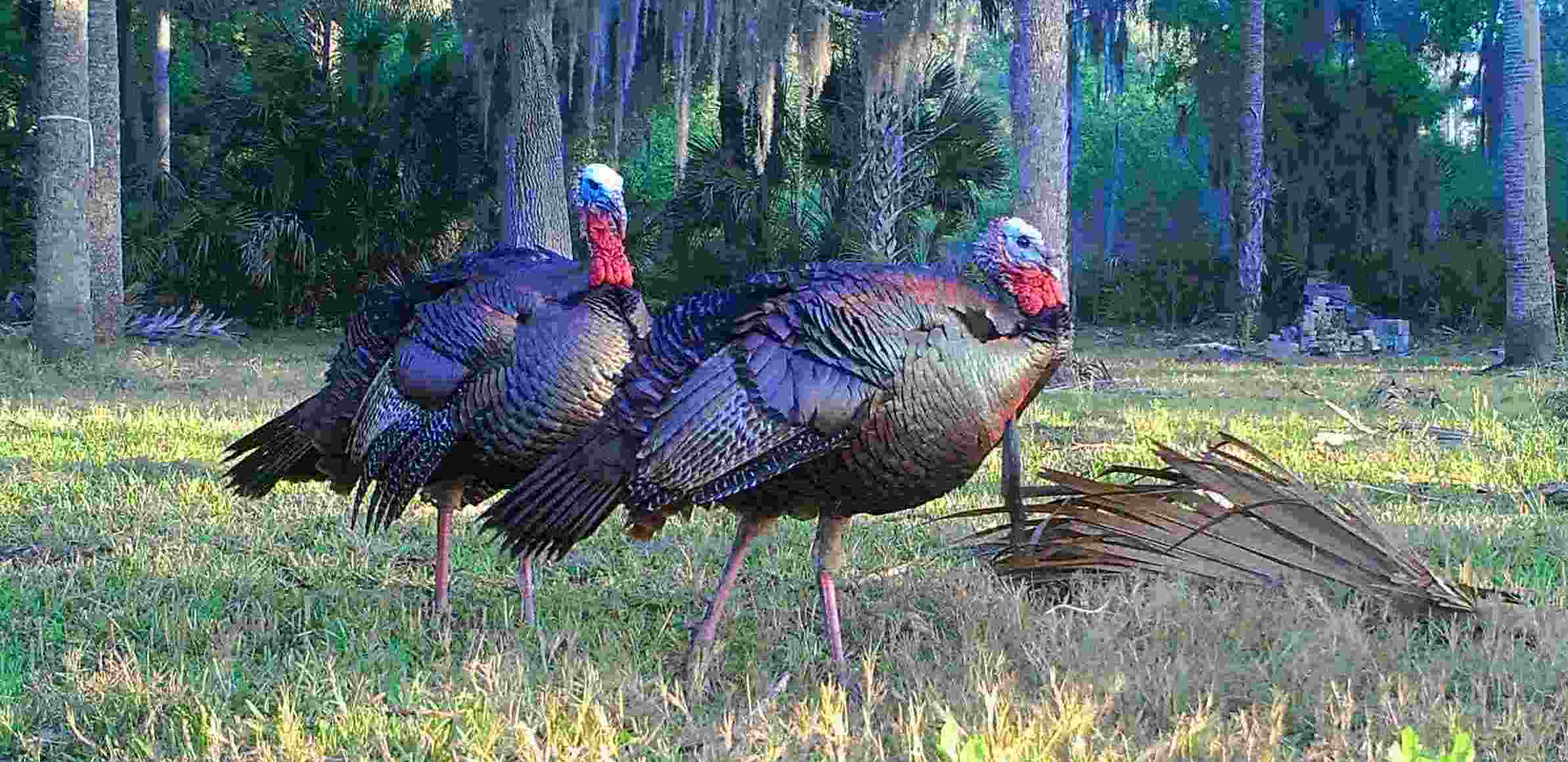 Florida Turkey Hunting, What You Need To Know For A Successful ...